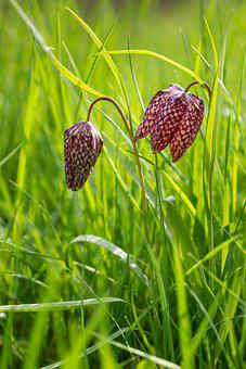 Fritillary, Flowers, Delicate, Nature