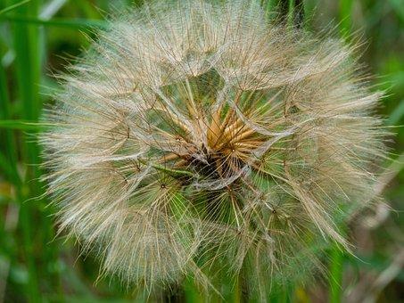 Seeds, A Slider, Fluff, Hair, White, Fine, Flora