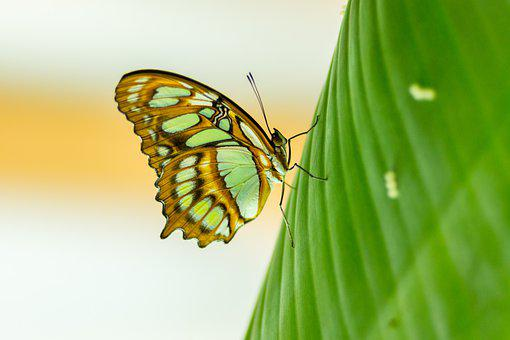 Butterfly, Transparent, Leaf, Green, Green Butterfly