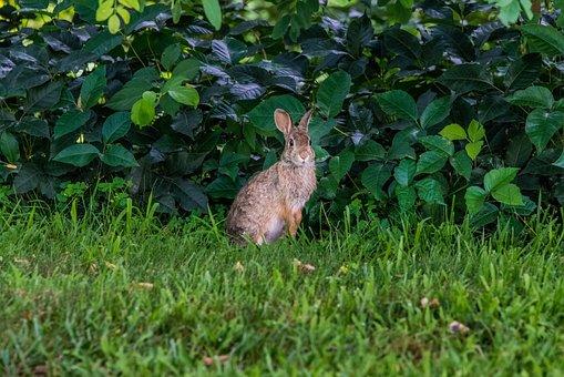 Rabbit, Bunny, Wildlife, Nature, Cute, Grass, Mohan