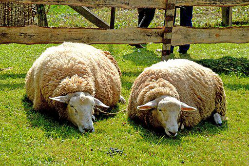 Sheep, Schafe, Schlaf, Tier, Müde, Animal, Sleep, Farm