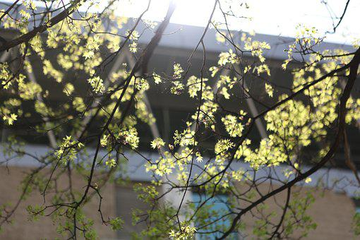 Maple, Beijing, The National Library, The Year April