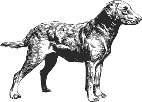 Dog, Pet, Animal, Retriever, Chesapeake, Breed