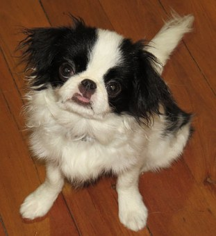 Japanese Chin, Dogs, Puppy, Hairy, Furry, Chin