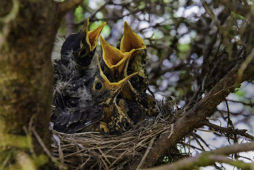 Chicks, Birds, Young, Cute, Nature, Small, Nest, Yellow