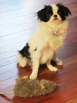 Dogs, Puppy, Puppies, Hairy, Furry, Japanese Chin, Chin