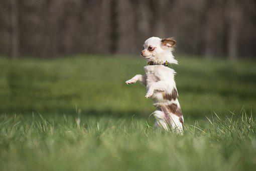 Chiwawa, Dog, Small, Spotted, Jump, Meadow, Grass, Sun