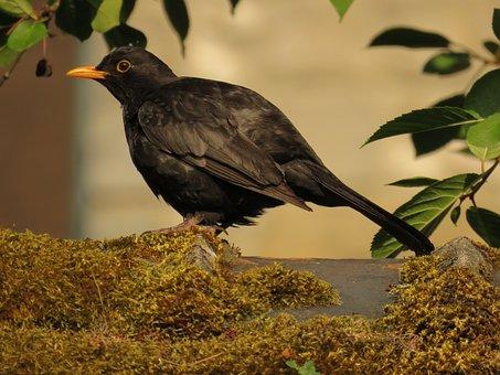 Animals, Bird, Merle, Black, Nature