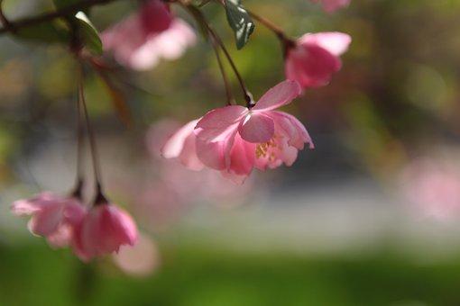 Vertical Silk Begonia, Beijing
