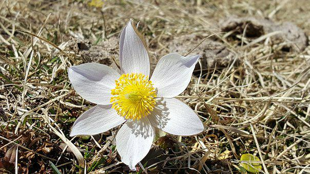 Finger Pasque Flower, Alpine Flower, Flower
