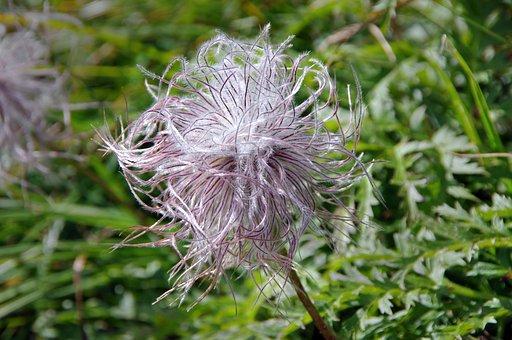 Alpine Pasque Flower, Alpine Anemone