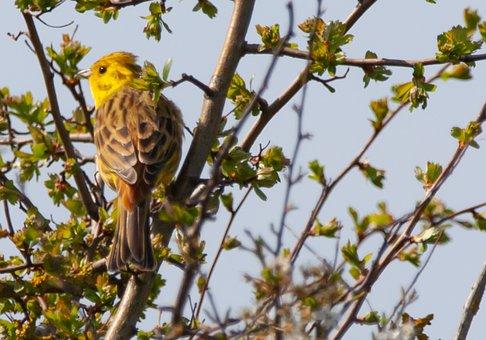 Female Bird, Female Yellowhammer Yellowhamer, Perched