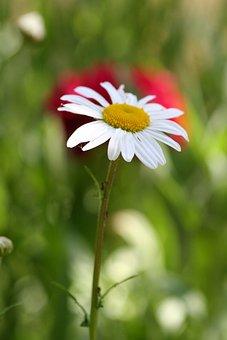 Flower, Marguerite, Spring, Nature