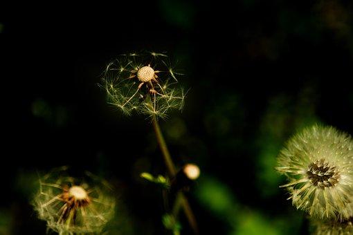 Dandelion, Journey, Leaving, Plants