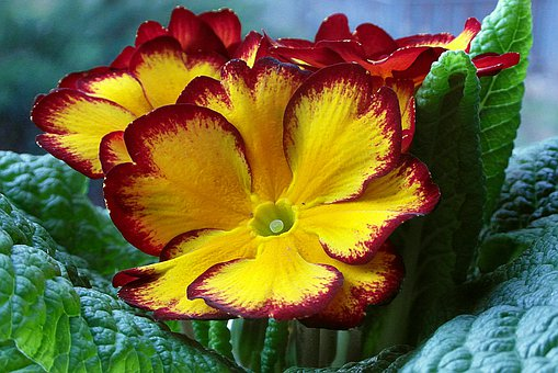 Prymulka, Primula, Flower, Yellow, Plant, Nature