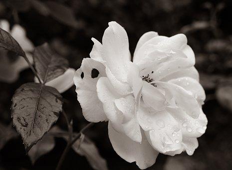 Pink, Garden, Rain, Flower, Nature, Black White