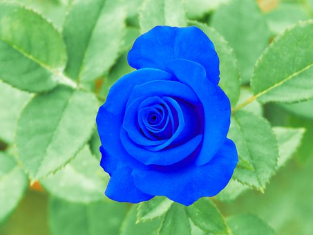 Cute Rose, Blue Rose, Blue Flower, Nature, Blue, Rose