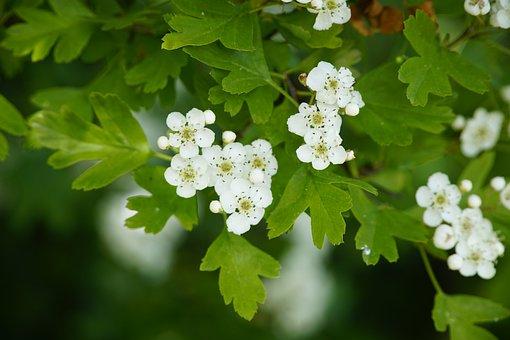 Crataegus, White, Hawthorn, Flowers