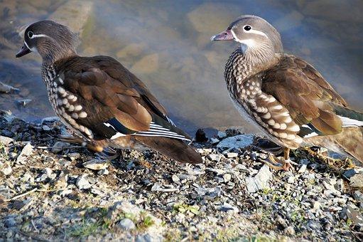 Duck, Mandarin, Female, Brown, Small, Duckling, Water