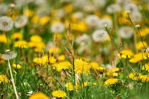 Dandelion, Bloom, Yellow, Faded, Transient, Meadow