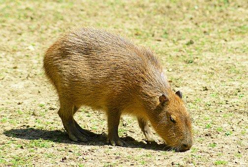 Capybara, Rodent, Mammal, Baby, Water Hog, Wildlife