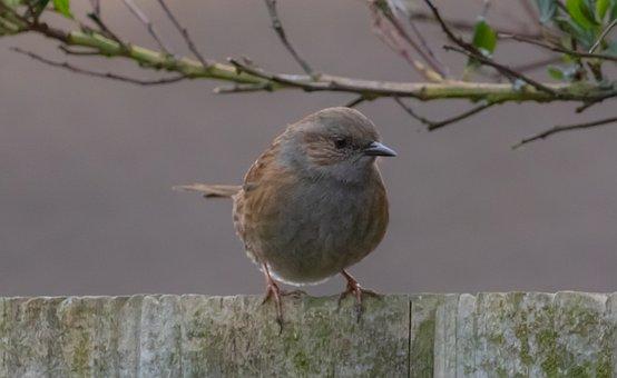 Dunnock On A Fence, Dunnock, Sparrow, Garden Bird