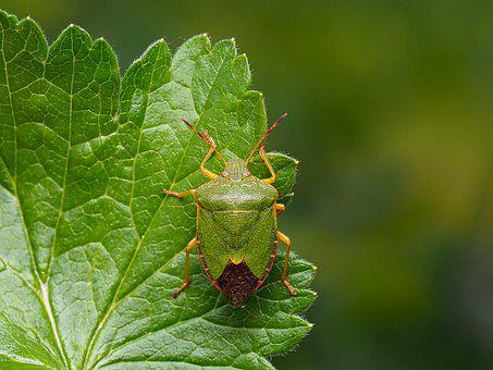 Stink Bug, Bug, Close Up, Green, Animal, Nature, Insect