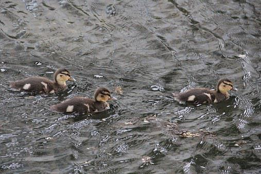 Young Mallard Chicks, On The Lake, Animal Children