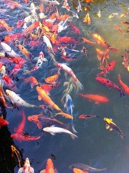 Goldfish, Koi, Fish, Orange, Pond, Water, Animal