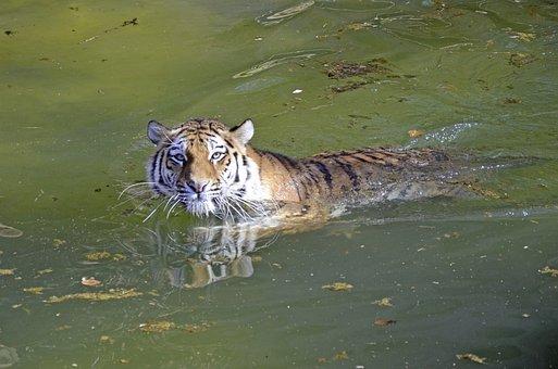 Tiger, Big Cat, Water, Swim, Dangerous, Predator