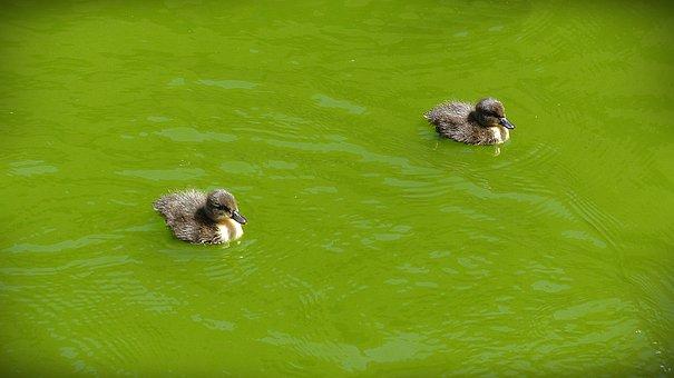 Entenkuecken, Chicken, Swim, Bird, Animals, Waters