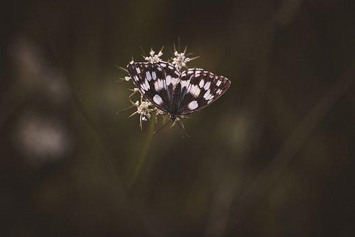 Butterfly, Chess Board, Checkerboard-butterfly