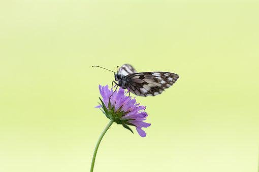 Butterfly, Chess Board, Women's Board, Edelfalter