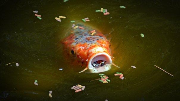 Koi, Carp, Foot, Koi Carp, Feed, Pond, Fish