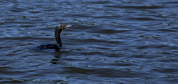 Double-crested Cormorant, Cormorant, Double-crested