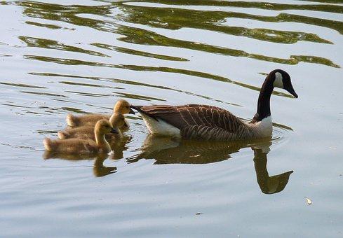 Goose, Gaensekuecken, Water, Swim, Fluffity, Plumage