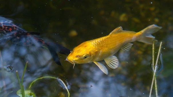 Koi, Fish, Pond, Water, Japanese, Water Surface