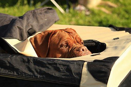 Bordeaux, Dogue, De, Dog, Mastiffs, French, Water, Pond
