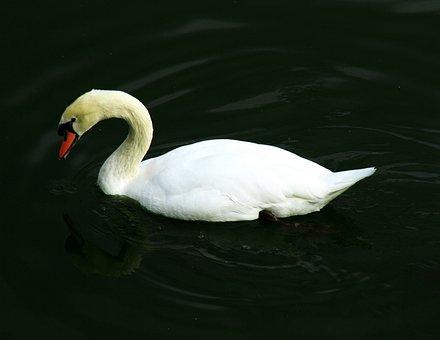 Swan, Bird, Na, Nature, Water, Wildlife, White, Lake