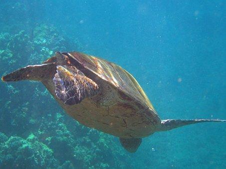 Turtle, Hawaii, Panzer, Reptile, Fin, Water