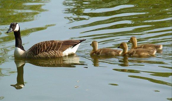 Goose, Gaensekuecken, Fluffity, Plumage, Chicks, Bird