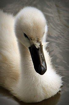 Swan, Baby Swan, Water, Water Bird, Cute, Plumage