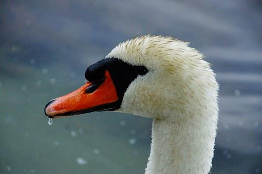 Swan, Head, Black, Water Bird, Bird, Water, Feather
