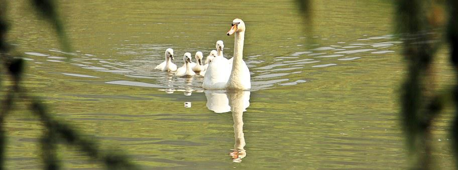 Swan, Swan Family, Baby Swan, Baby Swans, Family, Water
