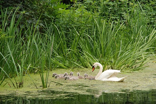 Swan, Bird, Chicks, Young, Swimming, Safely, Water