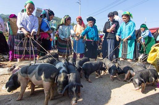 Pigs, Trade, Market, Business, Vietnam, Dong Van