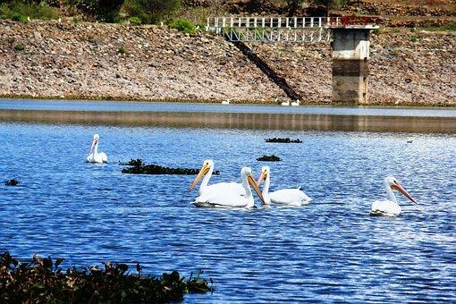 Pelicans, Pelicans In Water, Birds In Mexico, Water