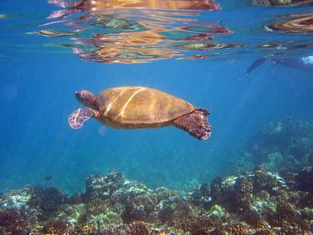 Turtle, Animal, Hawaii, Panzer, Water Turtle, Water
