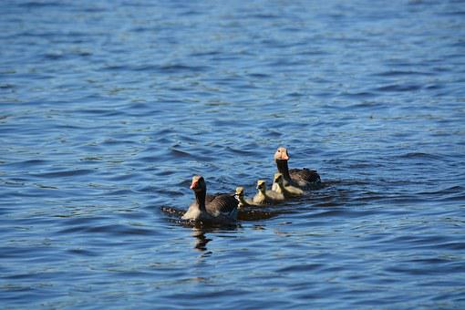 Grey Geese, Family, Waterfowl, Swim, Spring, Water