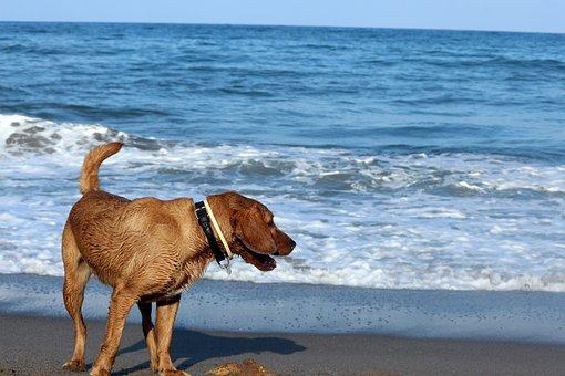 Dog, Sea, Animal, Pet, Swimming, Wet, Golden Retriever